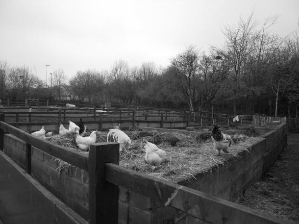 Londres_London_Hackney farm_Smokethorn